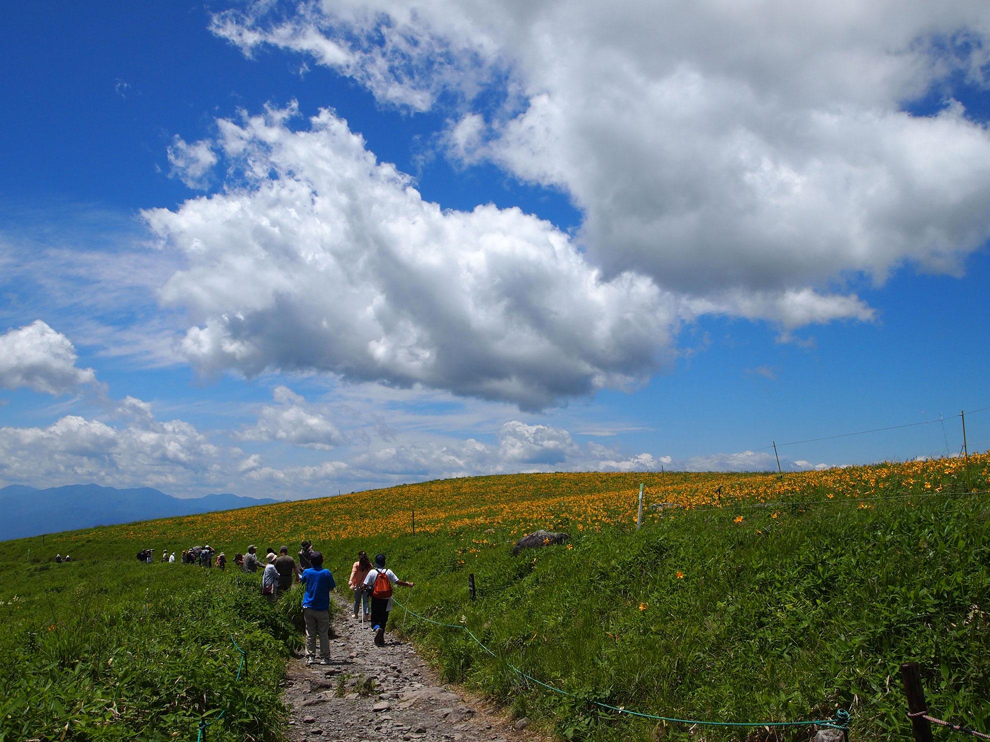 霧ヶ峰高原を代表するニッコウキスゲ